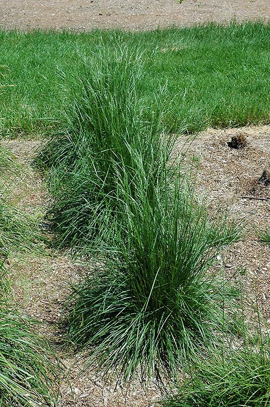 Schottland Hair Grass Deschampsia Cespitosa Schottland In Inver Grove Heights Minnesota MN