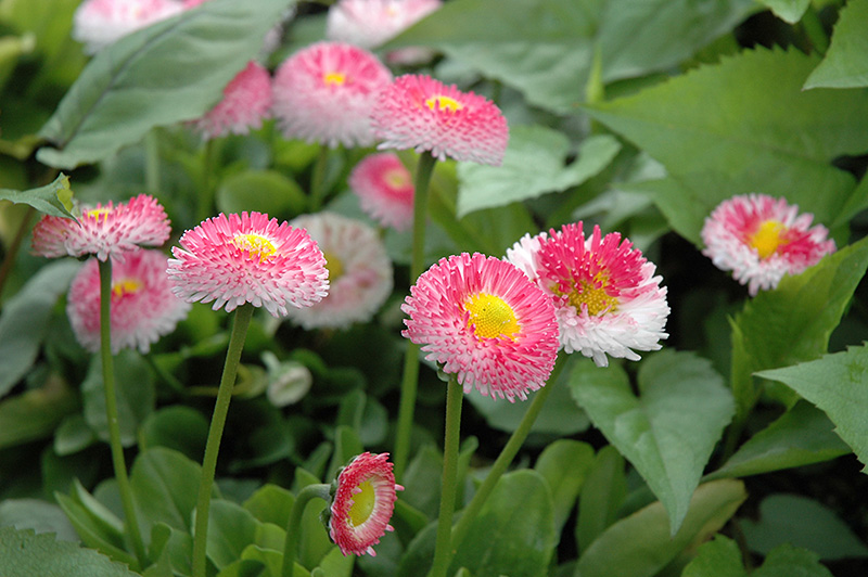 Image result for english daisy plant