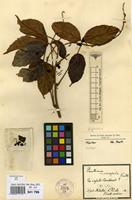 Syntype of Paullinia microsepala Radlk. [family SAPINDACEAE]