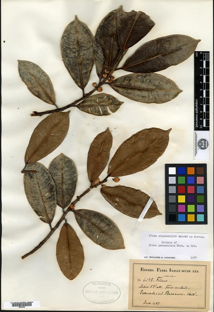 Isotype of Ficus grenadensis Warburg [family MORACEAE]