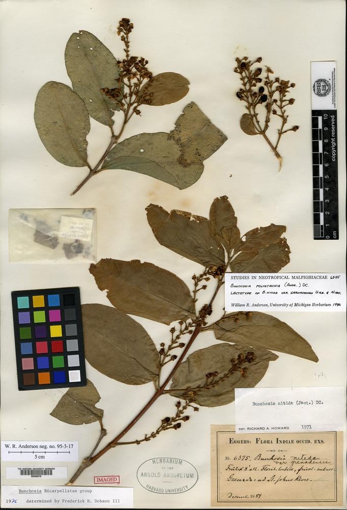 Lectotype of Bunchosia nitida (Jacquin) de Candolle var. grenadensis Urban & Niedenzu [family MALPIGHIACEAE]
