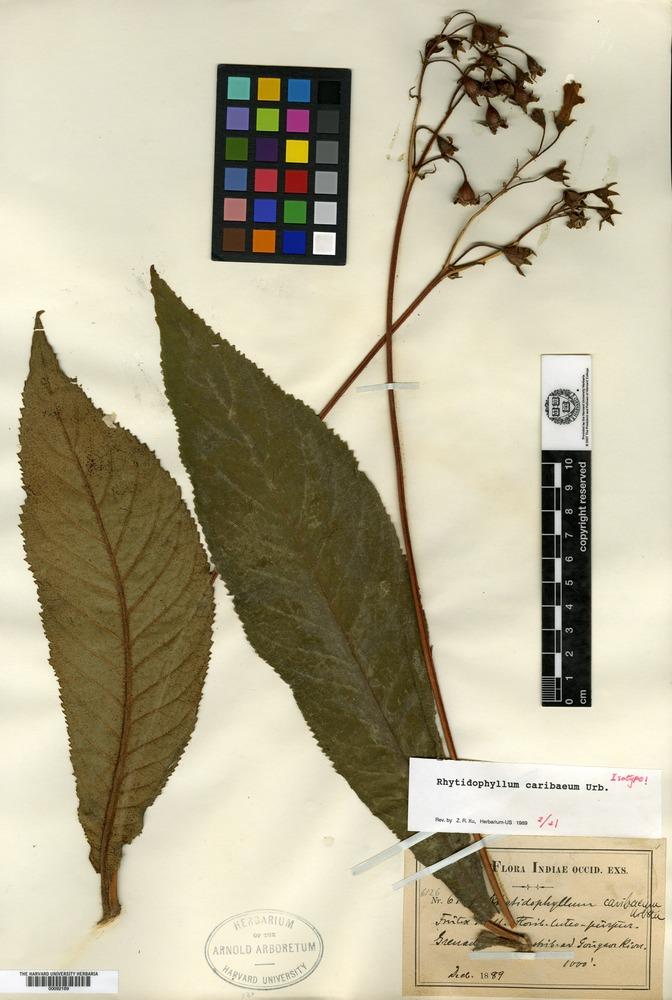 Isotype of Rhytidophyllum caribaeum Urban [family GESNERIACEAE]