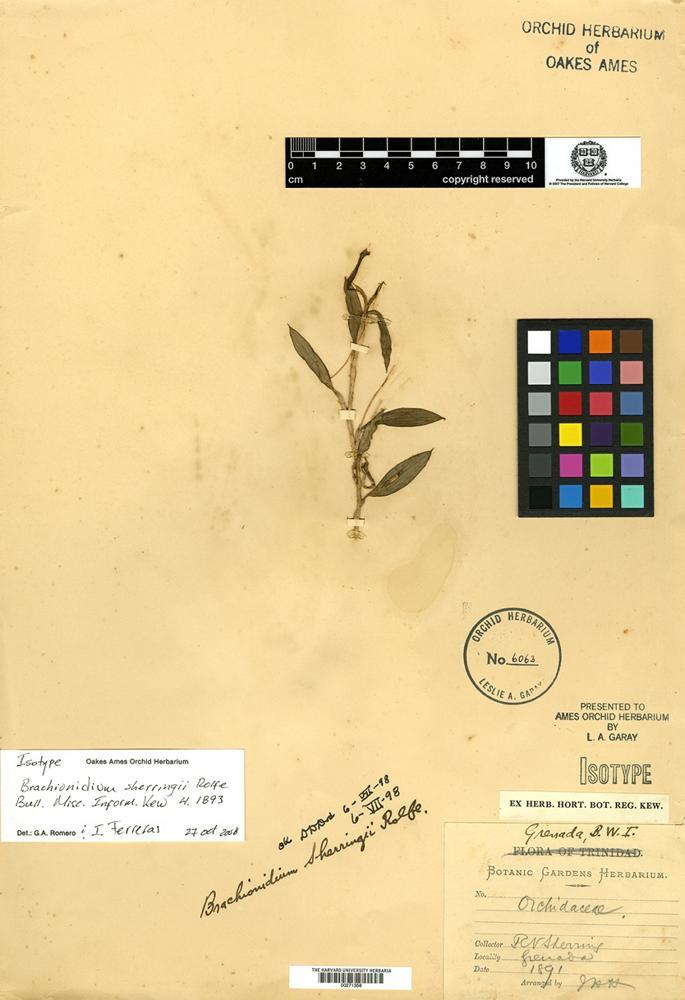 Filed as Brachionidium sherringii Rolfe [family ORCHIDACEAE]