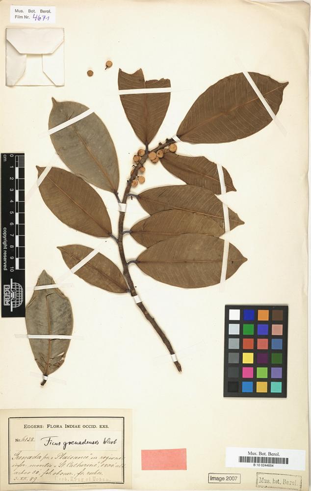 Type of Ficus grenadensis Warb. [family MORACEAE]