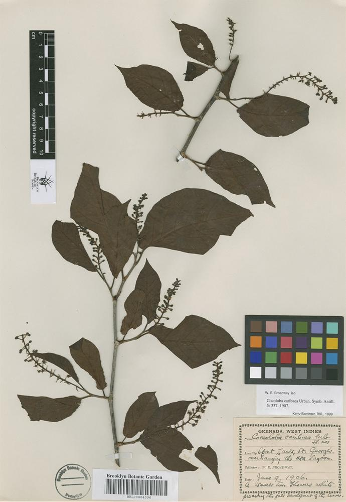 Isotype of Coccoloba caribaea Urban [family POLYGONACEAE]