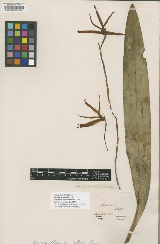 Type of Maxillaria albata Lindl. [family ORCHIDACEAE]