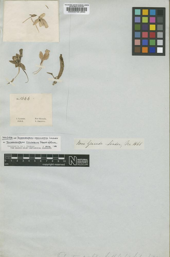 Isotype of Trichocentrum maculatum Lindl. [family ORCHIDACEAE]