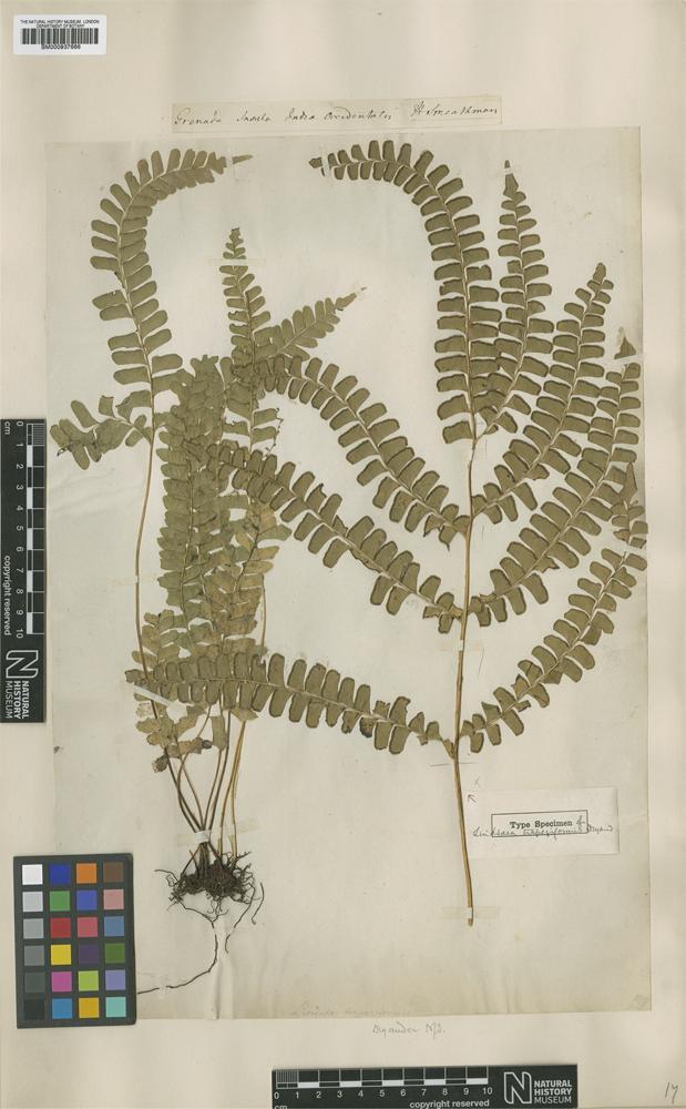 Type of Lindsaea trapeziformis Dryand. [family DENNSTAEDTIACEAE]