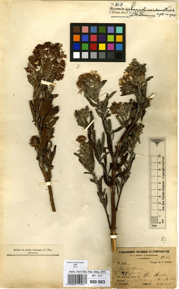 Type of Senecio subarchnoideus WEdd. [family COMPOSITAE]