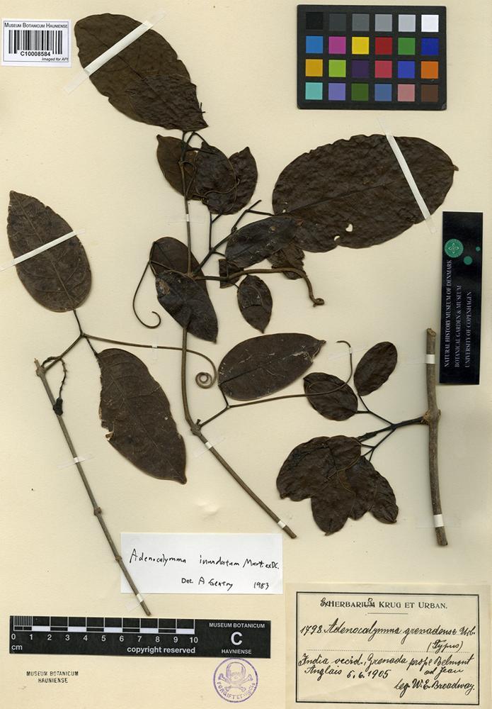 Type of Adenocalymma grenadense Urb. [family BIGNONIACEAE]