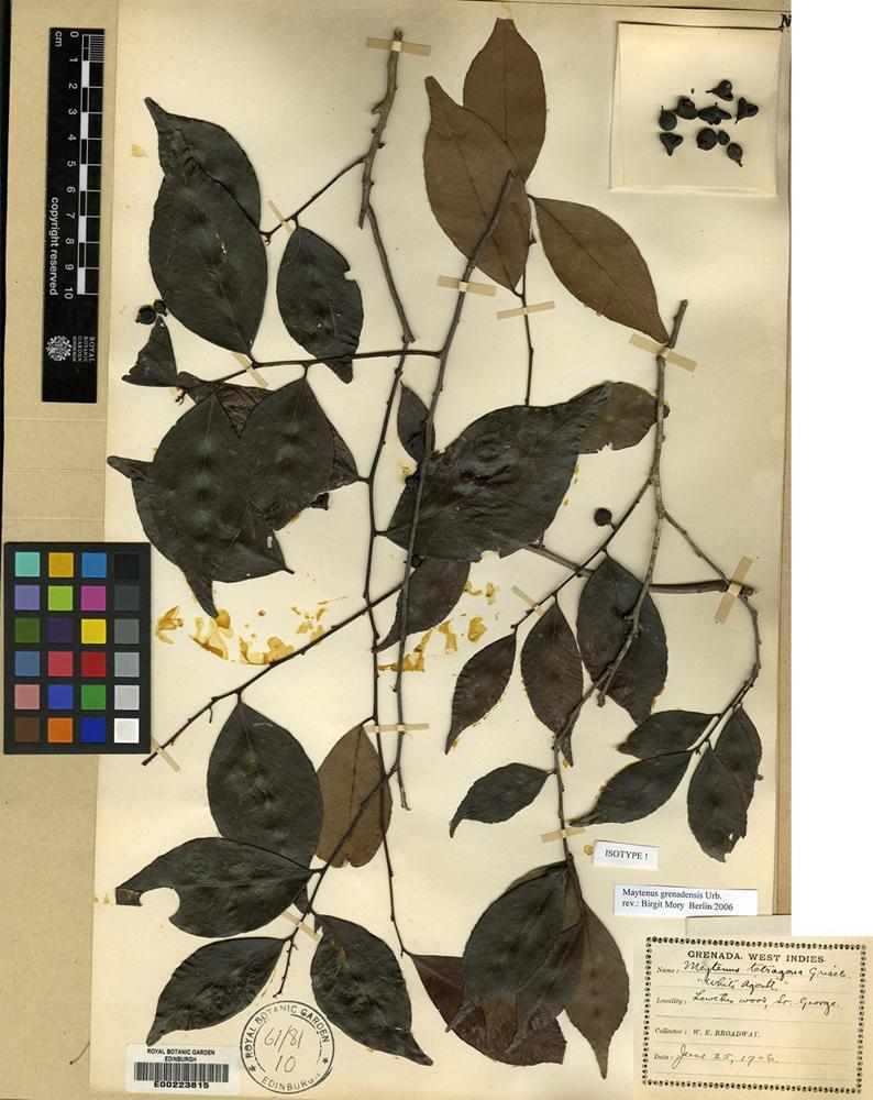 Isotype of Maytenus grenadensis Urb. [family CELASTRACEAE]