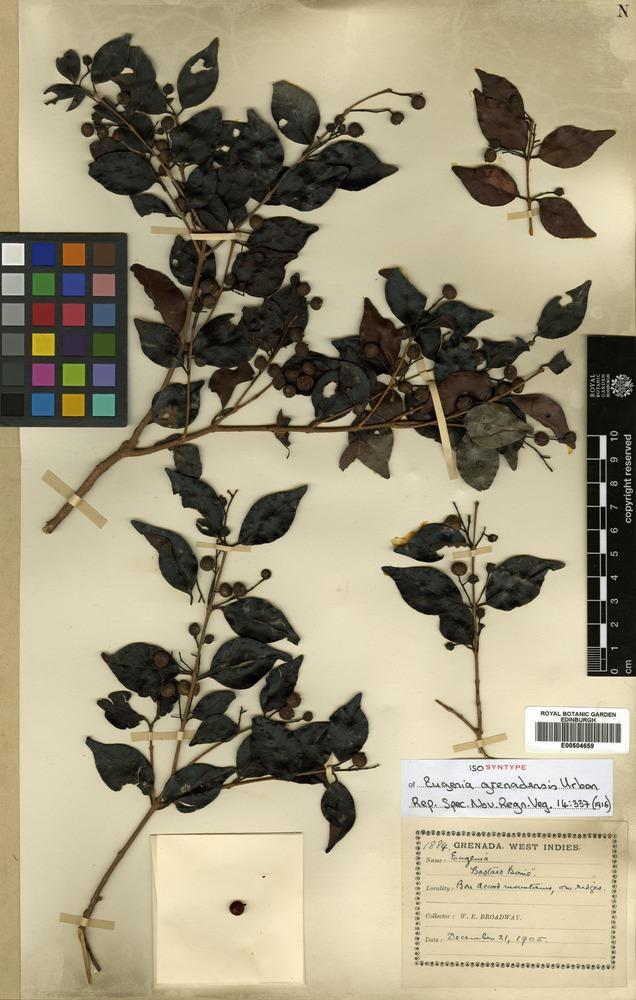 Isosyntype of Eugenia grenadensis Urban [family MYRTACEAE]
