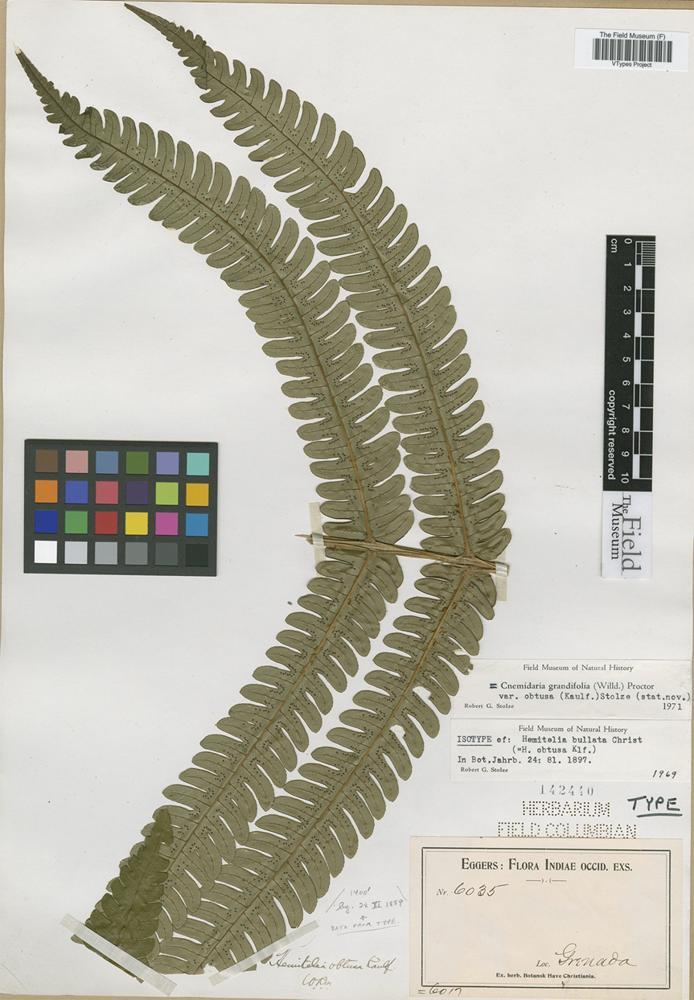 Isotype of Hemitelia bullata Christ [family CYATHEACEAE]