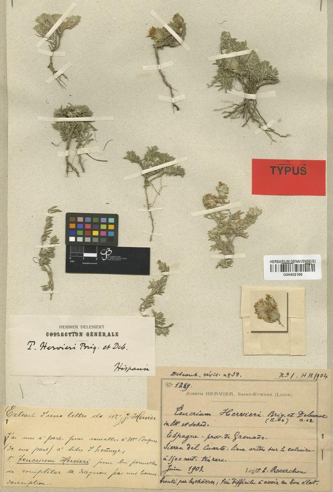 Syntype of Teucrium hervieri Briq. & Debeaux [family LABIATAE]