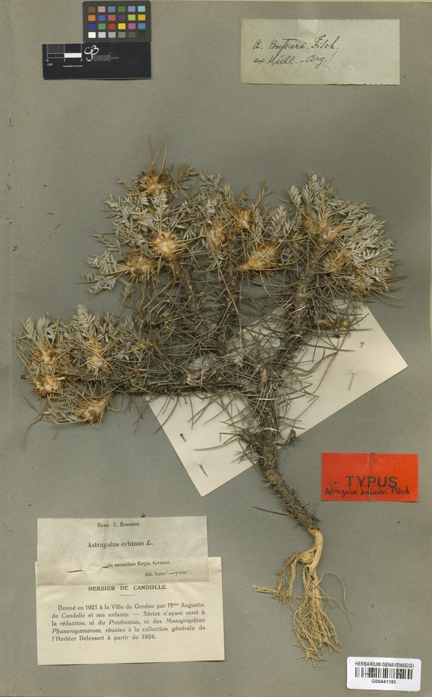 Isotype of Astragalus boissieri Fisch. [family LEGUMINOSAE]