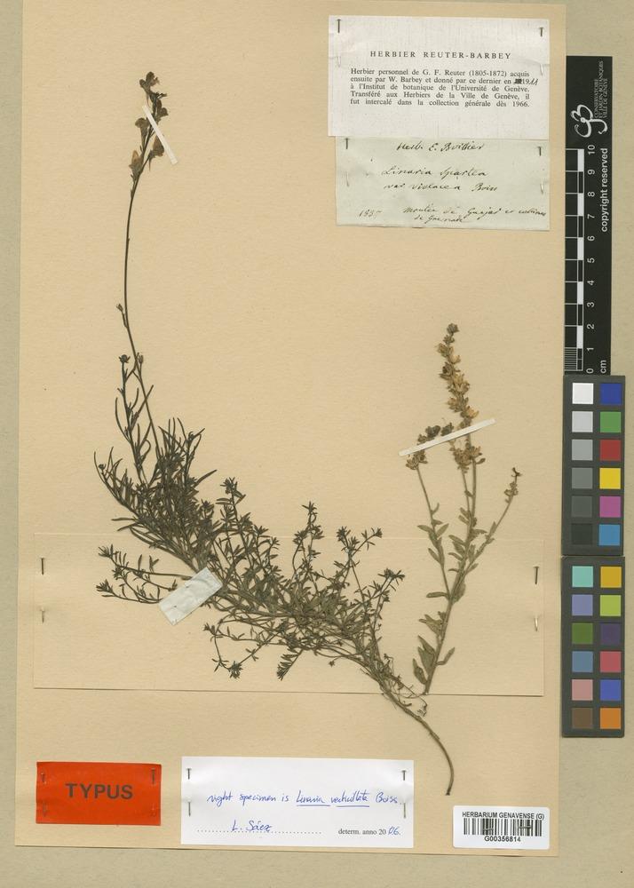 Syntype of Linaria salzmannii Boiss. [family SCROPHULARIACEAE]