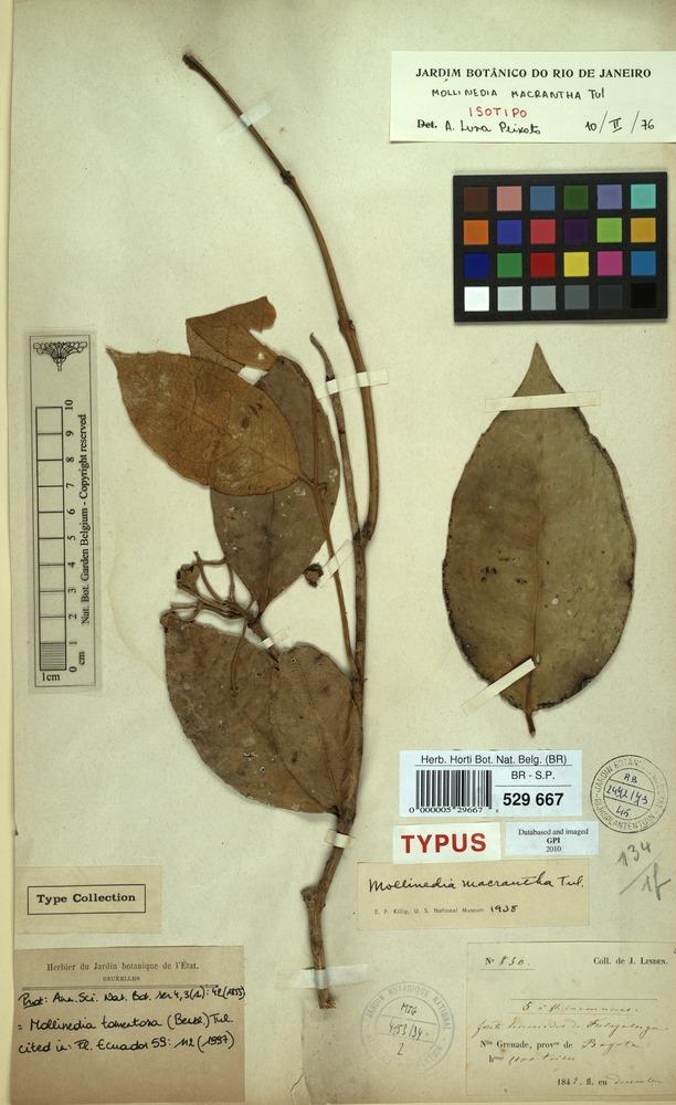 Isotype of Mollinedia macrantha Tul. [family MONIMIACEAE]