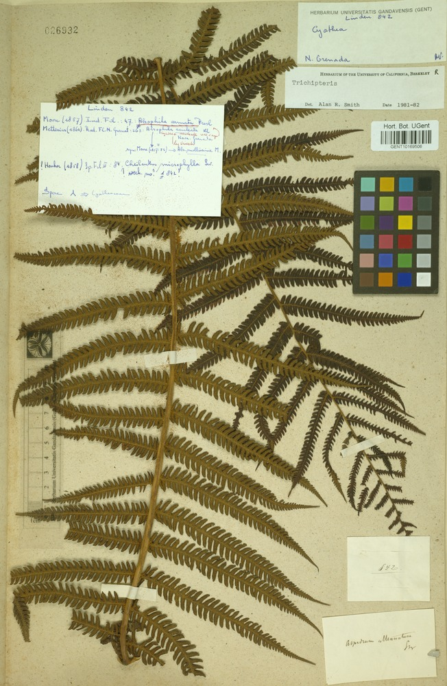 Filed as Trichipteris sp. [family CYATHEACEAE]