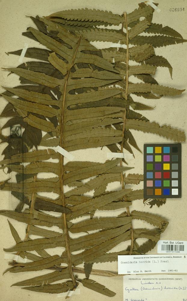 Filed as Cnemidaria horrida (L.) C.Presl [family CYATHEACEAE]