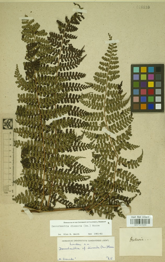 Filed as Dennstaedtia dissecta (Sw.) T.Moore [family DENNSTAEDTIACEAE]
