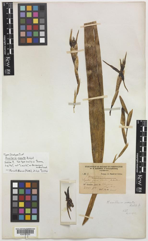 Isotype of Maxillaria nasuta Rchb.f. [family ORCHIDACEAE]