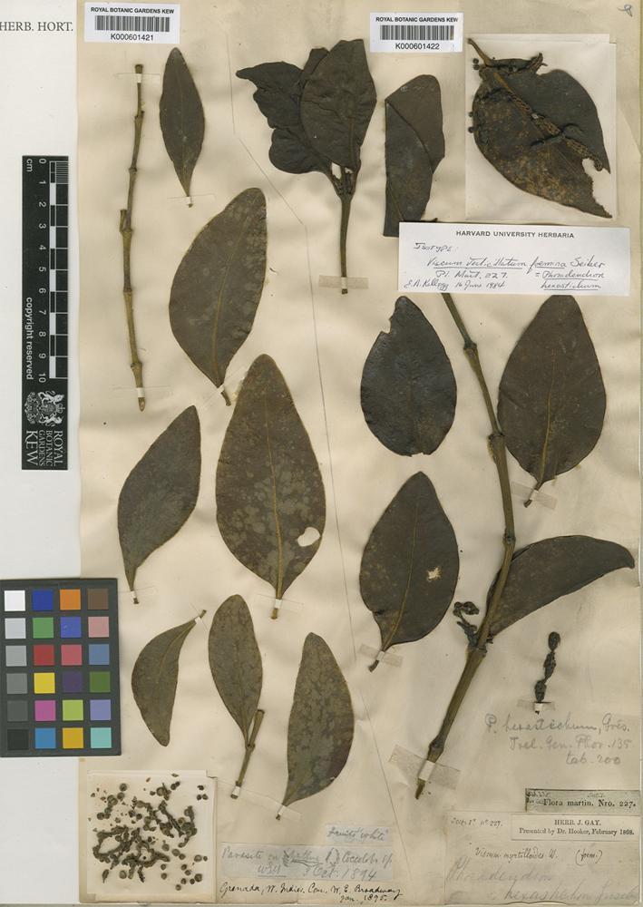 Phoradendron hexastichum (DC.) Griseb. [family VISCACEAE]