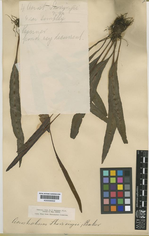 Elaphoglossum sherringii (Baker) C.Chr. [family LOMARIOPSIDACEAE]