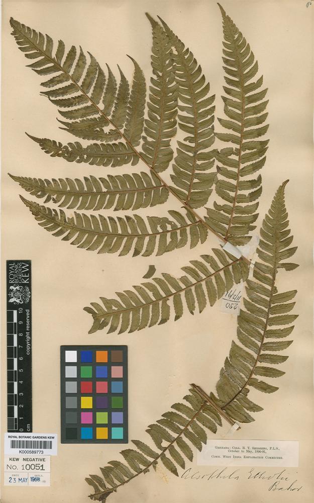 Cyathea elliottii (Baker) Domin [family CYATHEACEAE]