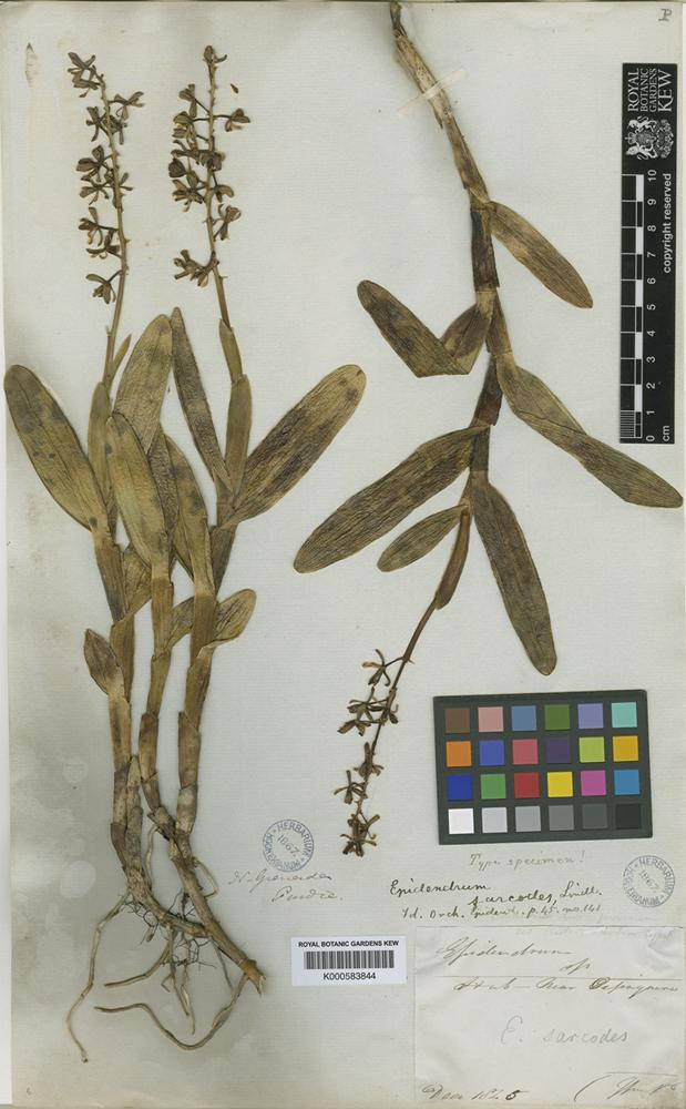 Type of Epidendrum sarcodes Lindl. [family ORCHIDACEAE]