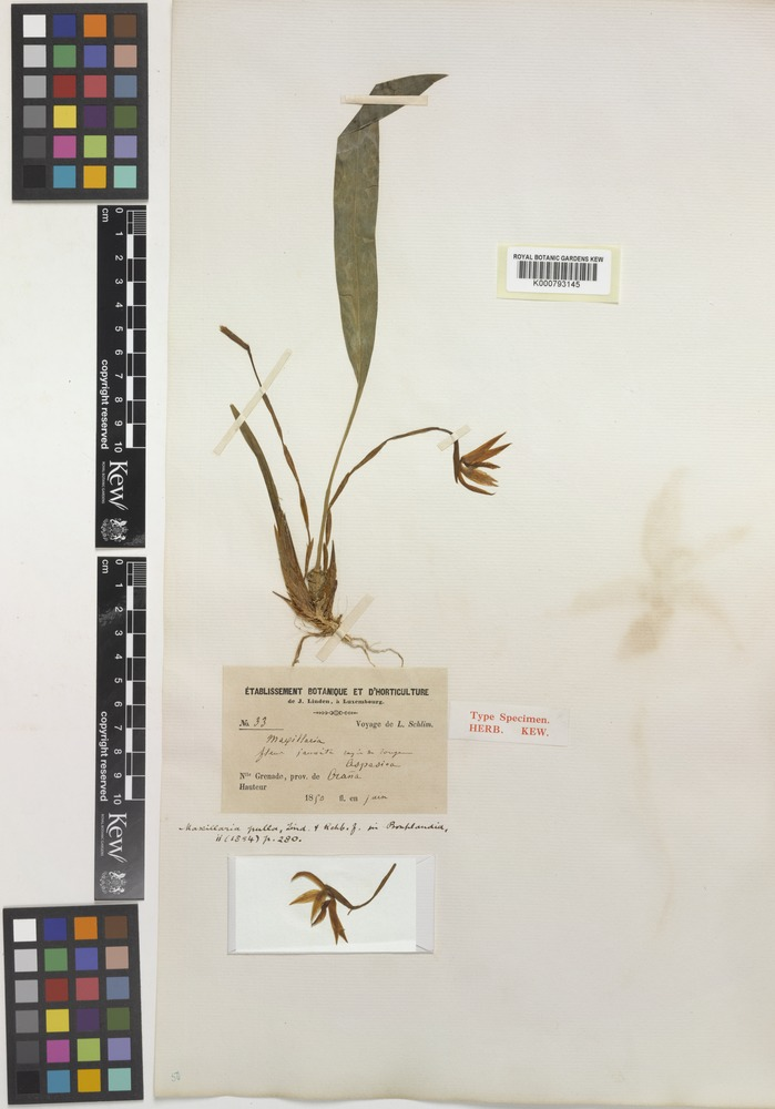 Type of Maxillaria pulla Linden & Rchb.f. [family ORCHIDACEAE]