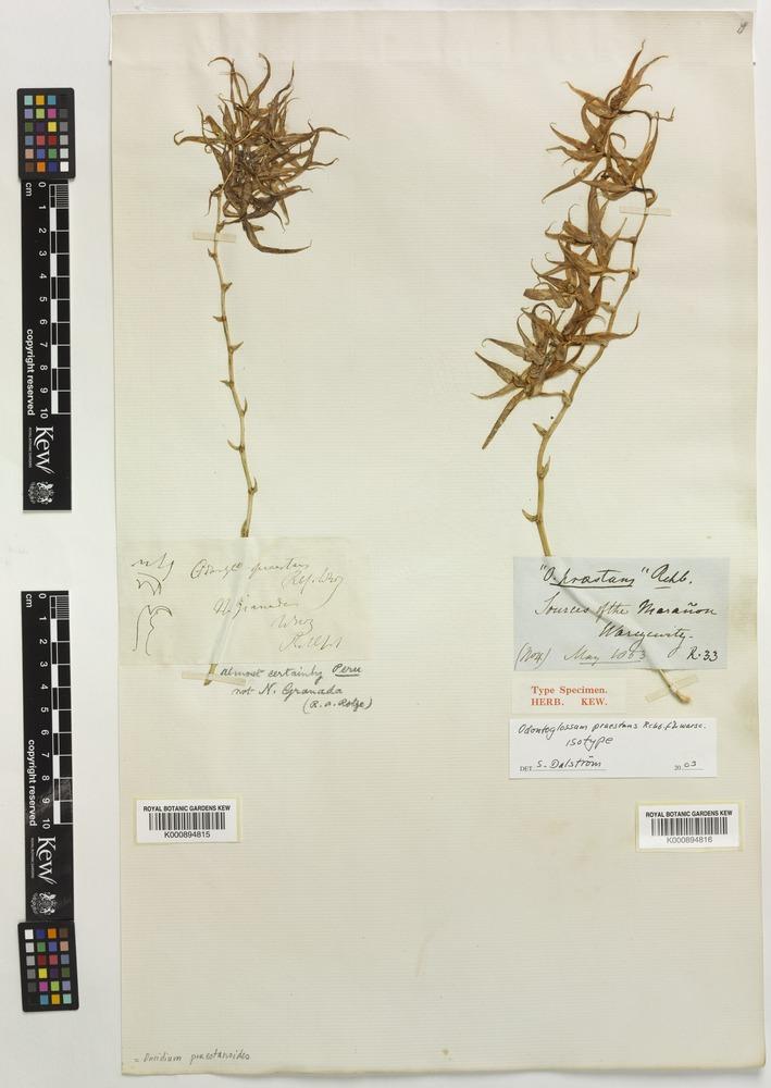 Oncidium praestanoides M.W.Chase & N.H.Williams [family ORCHIDACEAE]