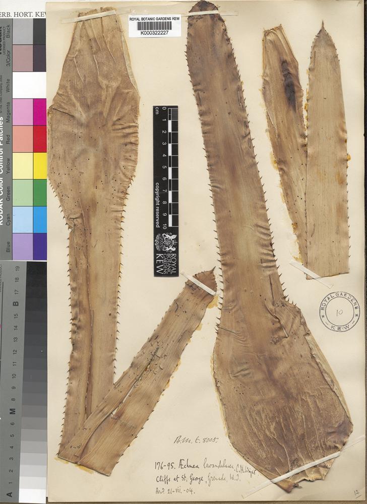 Type of Aechmea lavandulacea C.H.Wright [family BROMELIACEAE]