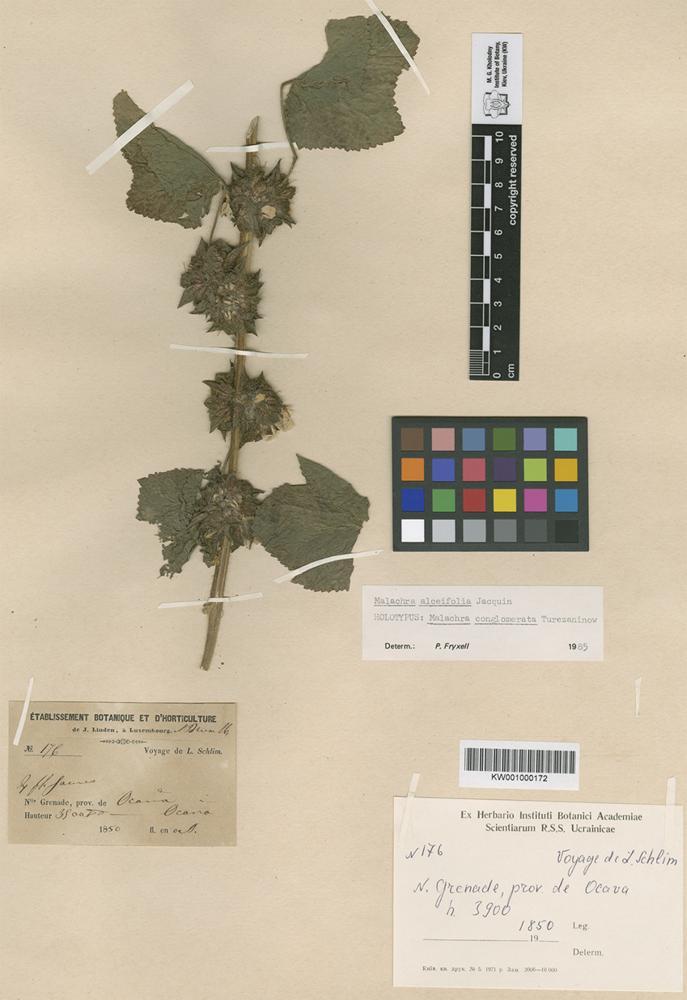 Holotype of Malachra conglomerata Turcz. [family MALVACEAE]