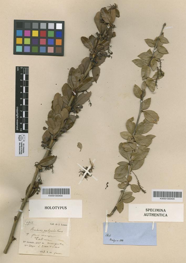Holotype of Berberis psilopoda Turcz. [family BERBERIDACEAE]