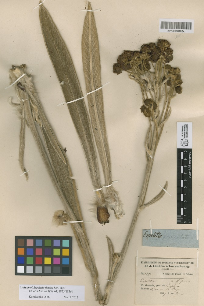Isotype of Espeletia funckii Sch. Bip. [family ASTERACEAE]