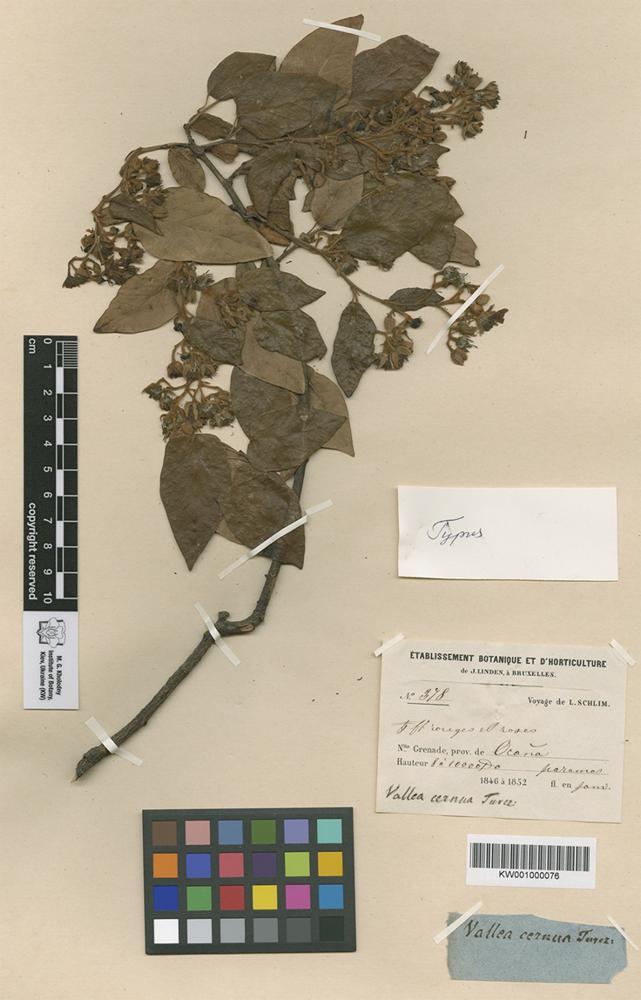 Holotype of Vallea cernua Turcz. [family ELAEOCARPACEAE]