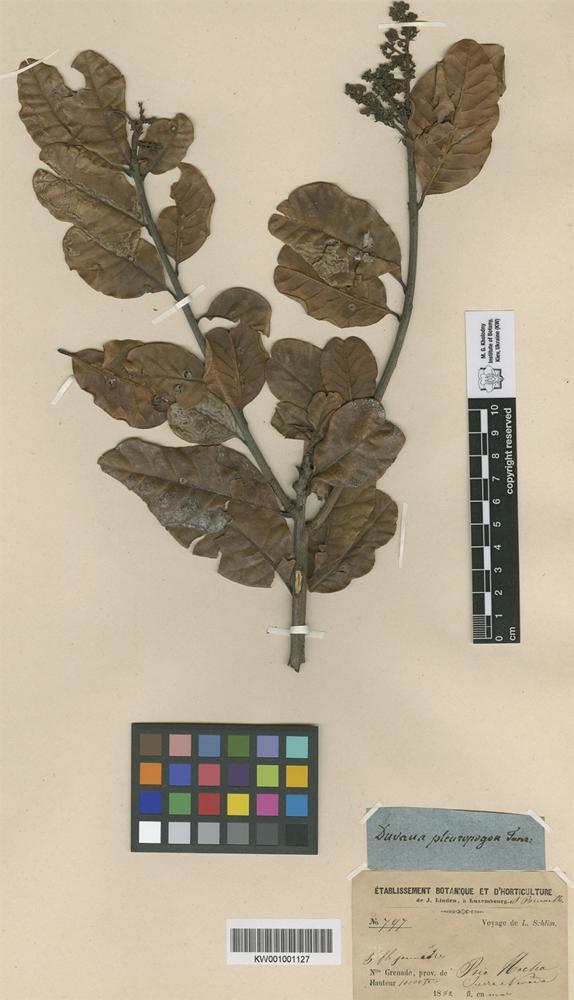 Holotype of Duvaua pleuropogon Turcz. [family ANACARDIACEAE]
