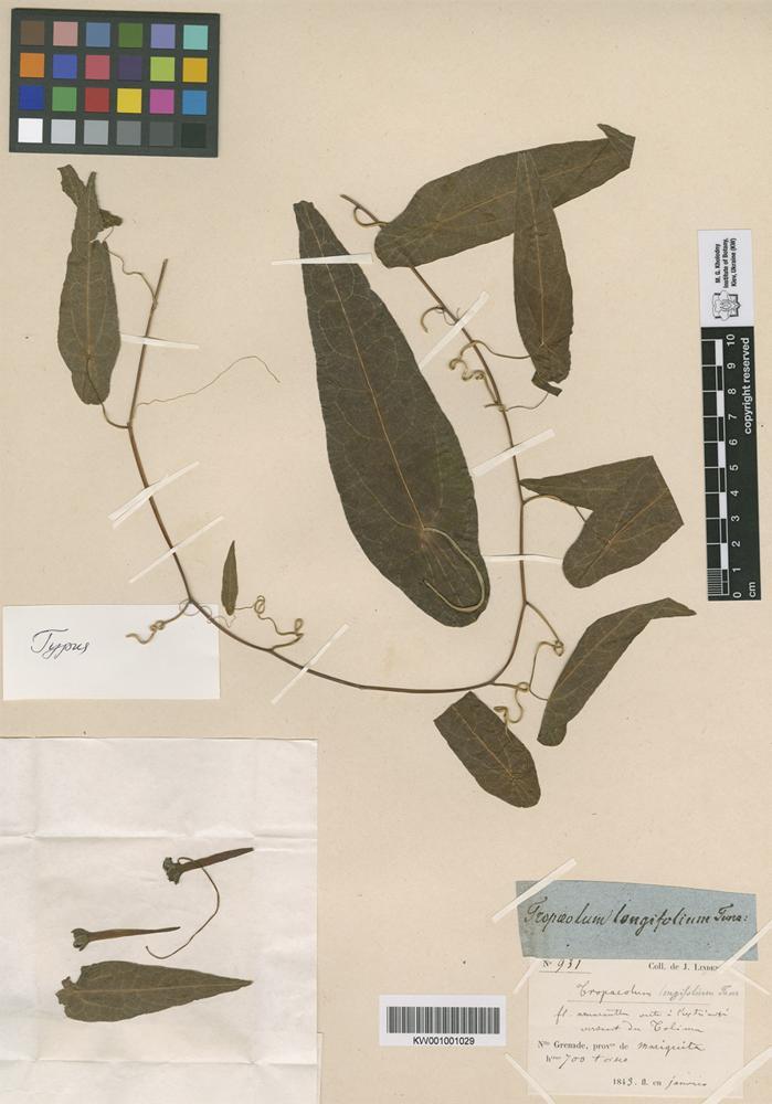 Holotype of Tropaeolum longifolium Turcz. [family TROPAEOLACEAE]