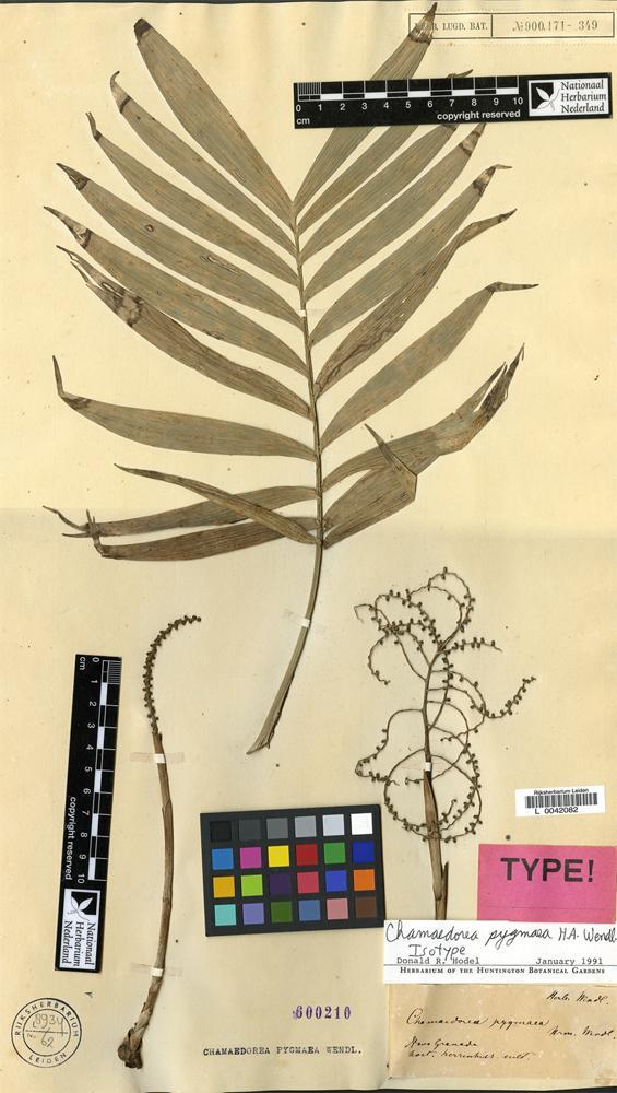 Isotype of Chamaedorea pygmaea H.Wendl. [family PALMAE]