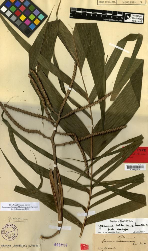 Isotype of Geonoma lindeniana H.Wendl. [family PALMAE]