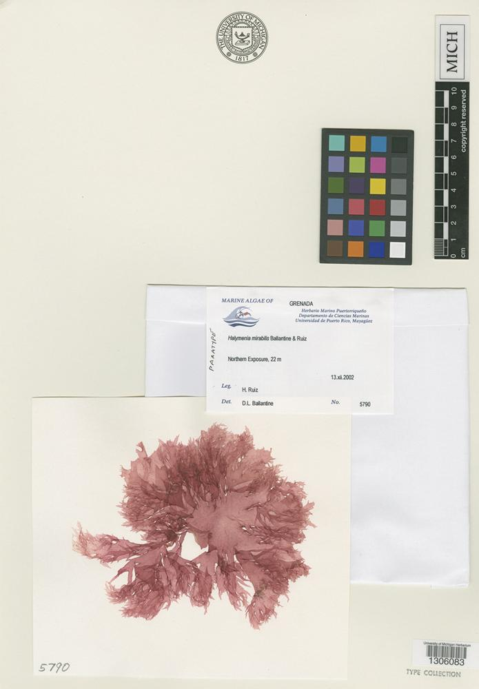 Paratype of Halymenia mirabilis D.L.Ballantine & H.Ruiz [family HALYMENIACEAE]