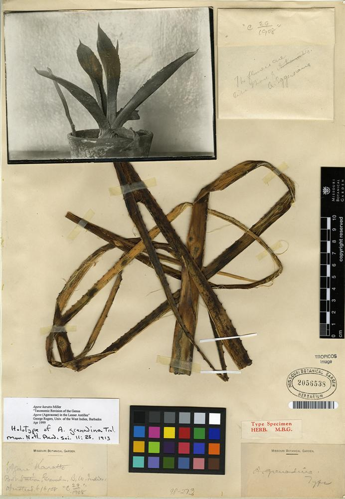 Holotype of Agave karatto Mill. [family ASPARAGACEAE]