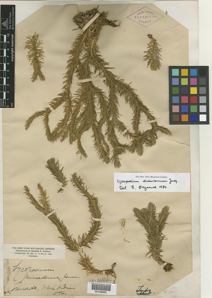 Type of Lycopodium grenadense Jenman [family PTERIDOPHYTE]