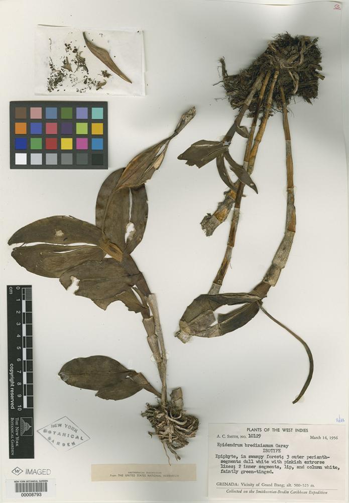 Isotype of Epidendrum bredinianum Garay [family ORCHIDACEAE]