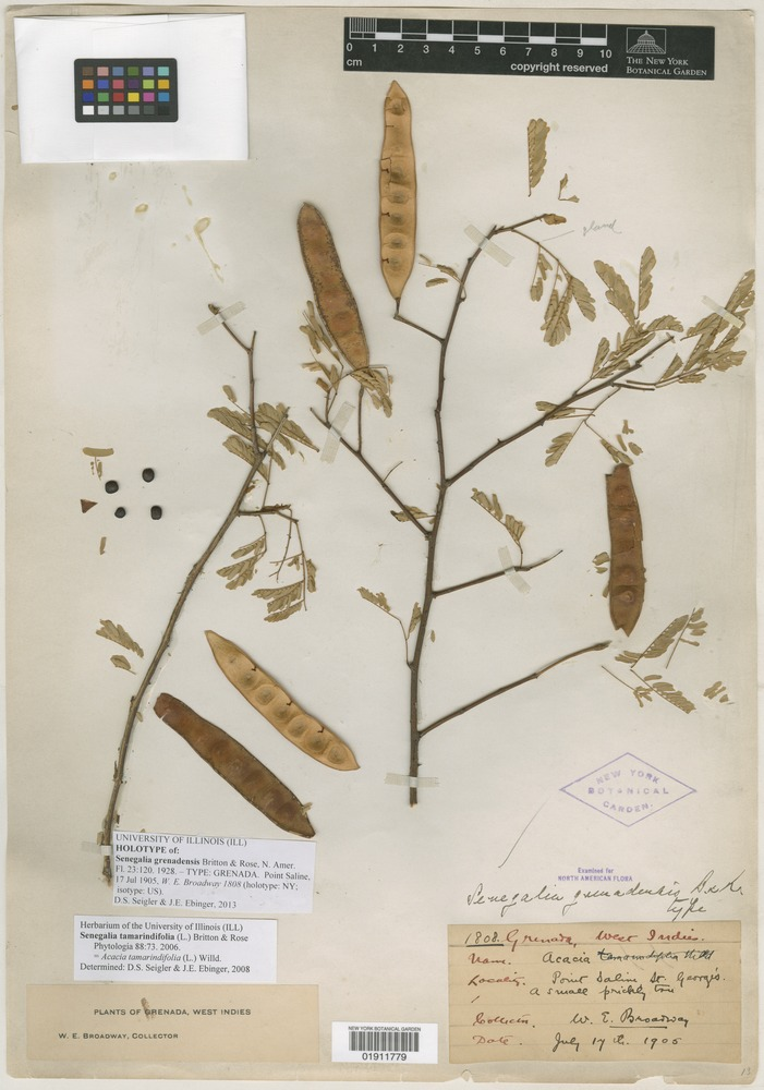 Holotype of Senegalia grenadensis Britton & Rose [family MIMOSACEAE]