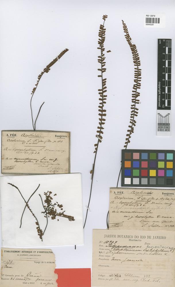 Syntype of Asplenium leptophyllum Fée [family PTERIDOPHYTA]