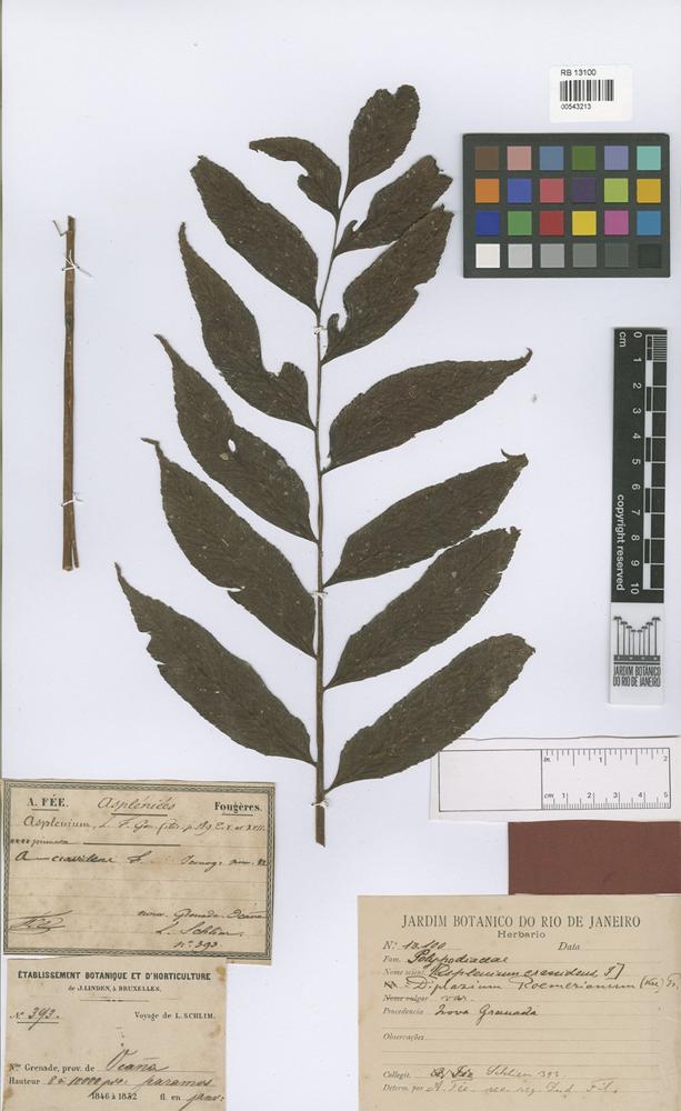 Type of Asplenium crassidens Fée [family PTERIDOPHYTA]