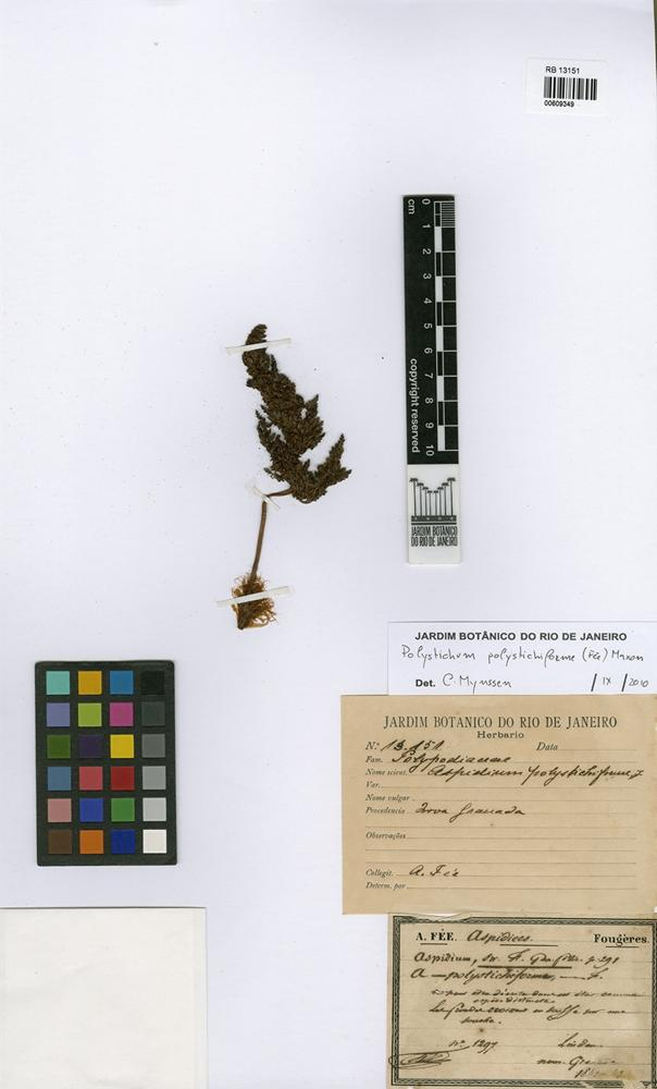 Polystichum polystichiforme (Fée) Maxon [family DRYOPTERIDACEAE]