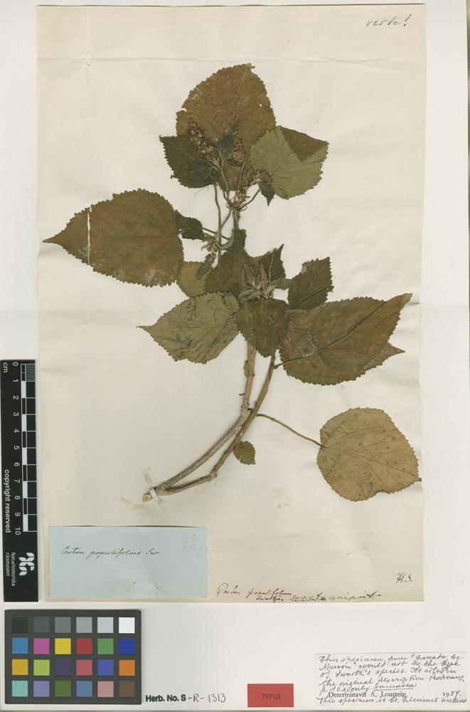 Type? of Croton populifolius Sw. [family EUPHORBIACEAE]