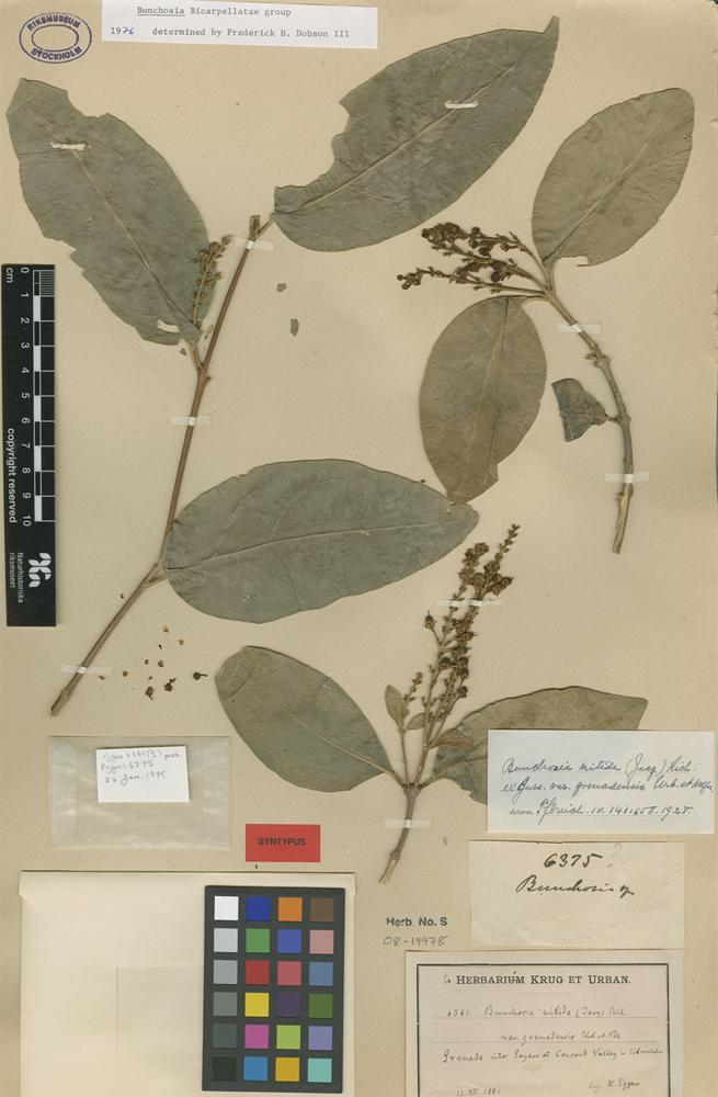 Syntype of Bunchosia nitida (Jacq.) DC. var. grenadensis Urb. & Nied. [family MALPIGHIACEAE]